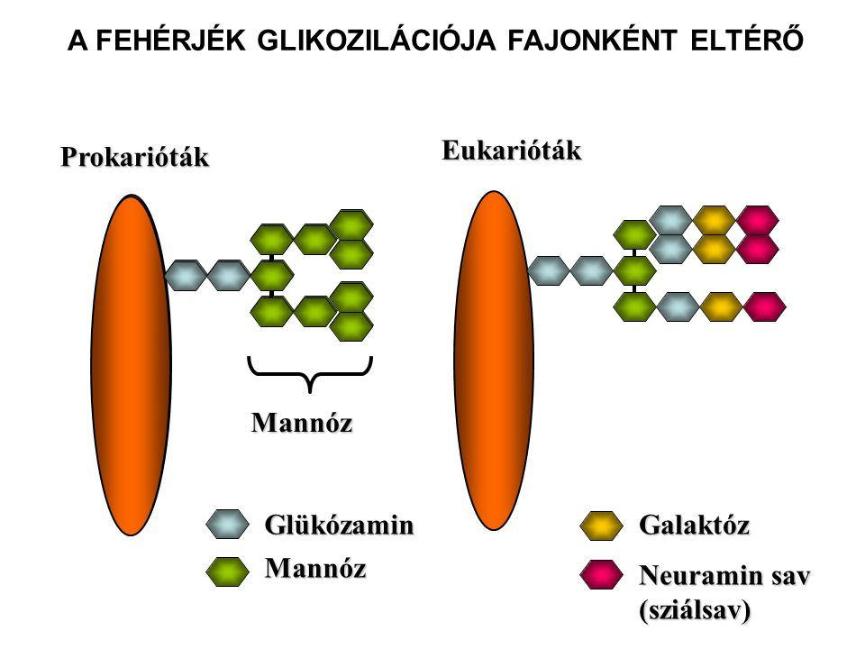 Szuperantigének Konvencionális Antigén Monoklonális/Oligoklonális T sejt válasz 1:10 4 - 1:10 5 Szuperantigén Poliklonális T sejt válasz 1:4 - 1:10 Fehérjék, melyek több – megfelelő TCR-t hordozó – T-sejthez tudnak kötődni és aktiválják azokat.