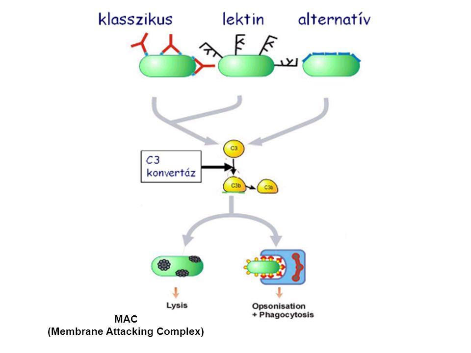AZ EXTRACELLULÁRIS BAKTÉRIUMOK ELLEN IRÁNYULÓ VÉDEKEZŐ MECHANIUZMUSOK TERMÉSZETES IMMUNITÁS Komplement aktiváció a baktérium által Fagocitózis – receptor mediált fagocitózis vagy ellenanyag és komplement mediált opszonizációt követő fagocitózis Gyulladás LPS  TLR makrofág aktiváció Peptidoglikán  TLR makrofág aktiváció SZERZETT IMMUNITÁS Humorális immunválasz Célpontok: sejtfal antigének és toxinok T-independens  sejtfal poliszacharid  IgM T-dependent  bakteriális fehérje  izotípus váltás  gyulladás  makrofág aktiváció Lásd: 6.ea!