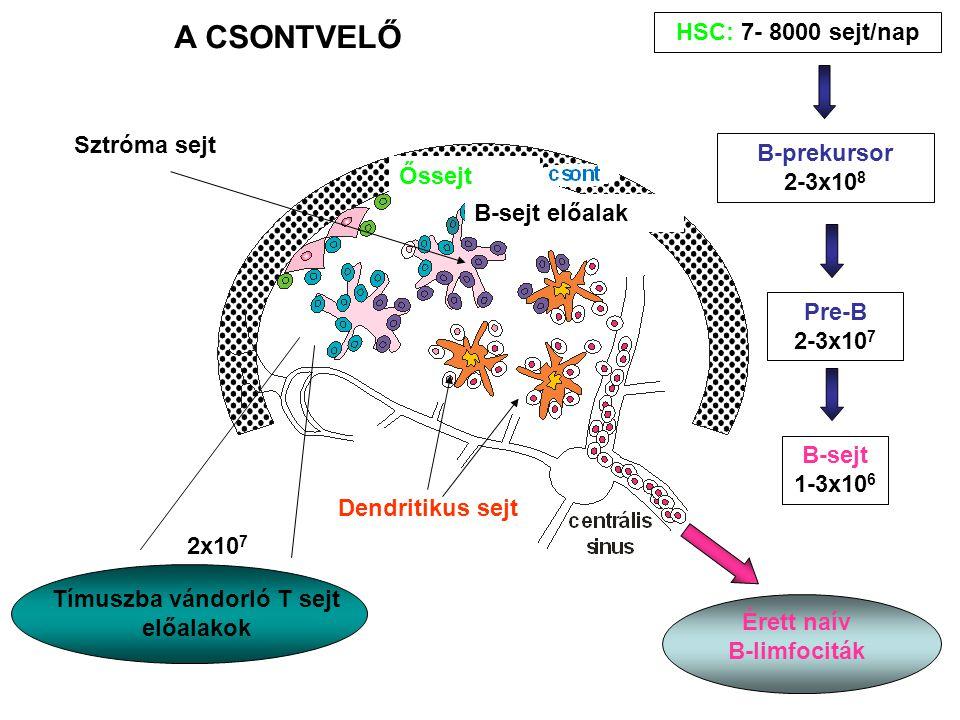 A CSONTVELŐ Tímuszba vándorló T sejt előalakok 2x10 7 B-prekursor 2-3x10 8 Pre-B 2-3x10 7 B-sejt 1-3x10 6 Érett naív B-limfociták Dendritikus sejt B-sejt előalak Őssejt Sztróma sejt HSC: 7- 8000 sejt/nap