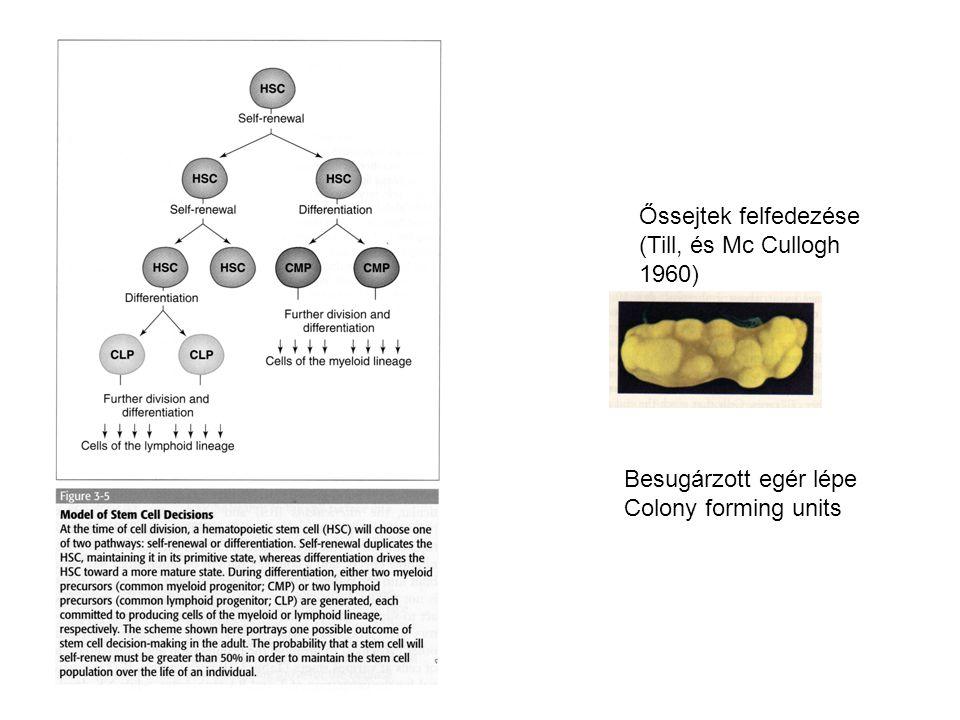 Besugárzott egér lépe Colony forming units Őssejtek felfedezése (Till, és Mc Cullogh 1960)