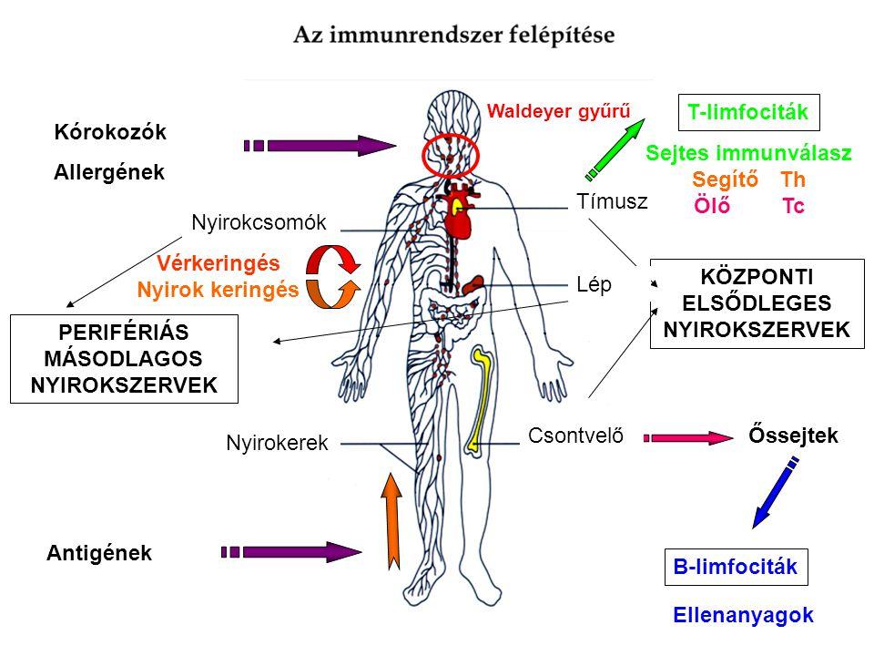 Kórokozók Allergének Antigének Őssejtek B-limfociták Ellenanyagok T-limfociták Sejtes immunválasz Segítő Th Ölő Tc Vérkeringés Nyirok keringés Csontvelő Tímusz Nyirokerek KÖZPONTI ELSŐDLEGES NYIROKSZERVEK Nyirokerek PERIFÉRIÁS MÁSODLAGOS NYIROKSZERVEK Lép Nyirokcsomók Waldeyer gyűrű