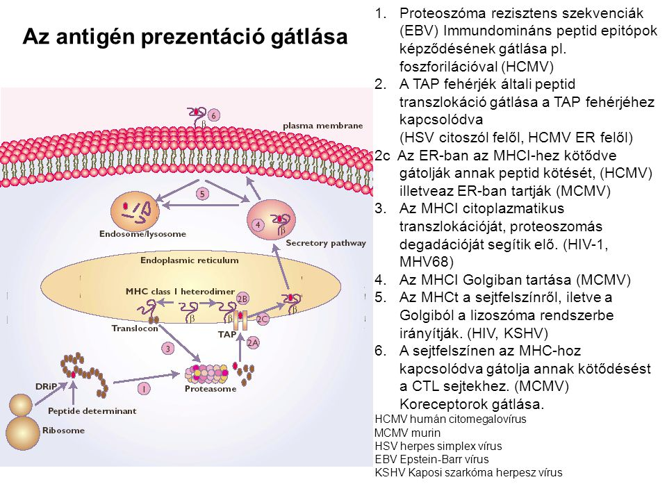 1.Proteoszóma rezisztens szekvenciák (EBV) Immundomináns peptid epitópok képződésének gátlása pl. foszforilációval (HCMV) 2.A TAP fehérjék általi pept