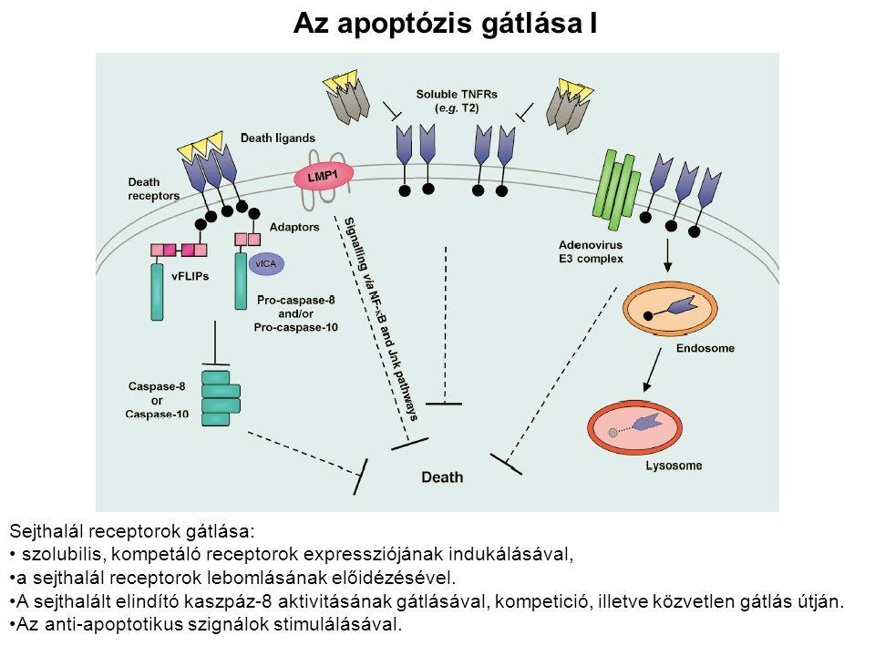 Az apoptózis gátlása I Sejthalál receptorok gátlása: szolubilis, kompetáló receptorok expressziójának indukálásával, a sejthalál receptorok lebomlásán