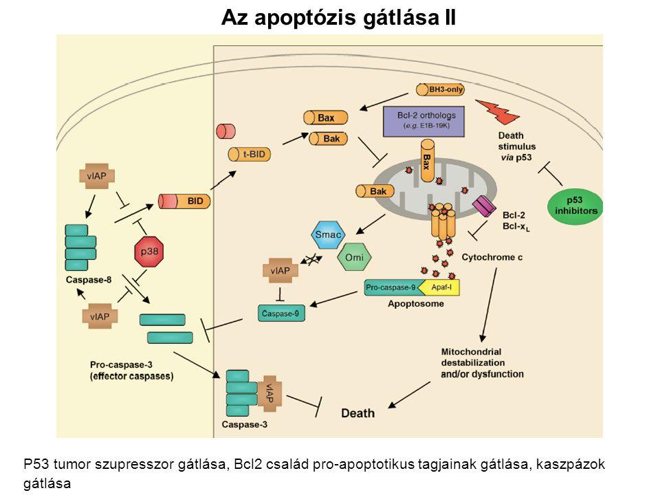 Az apoptózis gátlása II P53 tumor szupresszor gátlása, Bcl2 család pro-apoptotikus tagjainak gátlása, kaszpázok gátlása