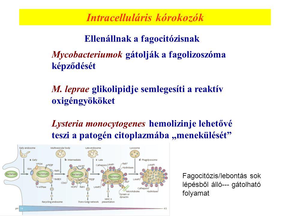 Intracelluláris kórokozók Ellenállnak a fagocitózisnak Mycobacteriumok gátolják a fagolizoszóma képződését M. leprae glikolipidje semlegesíti a reaktí