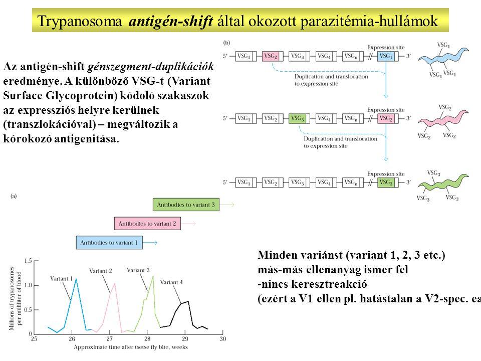 Trypanosoma antigén-shift által okozott parazitémia-hullámok Minden variánst (variant 1, 2, 3 etc.) más-más ellenanyag ismer fel -nincs keresztreakció