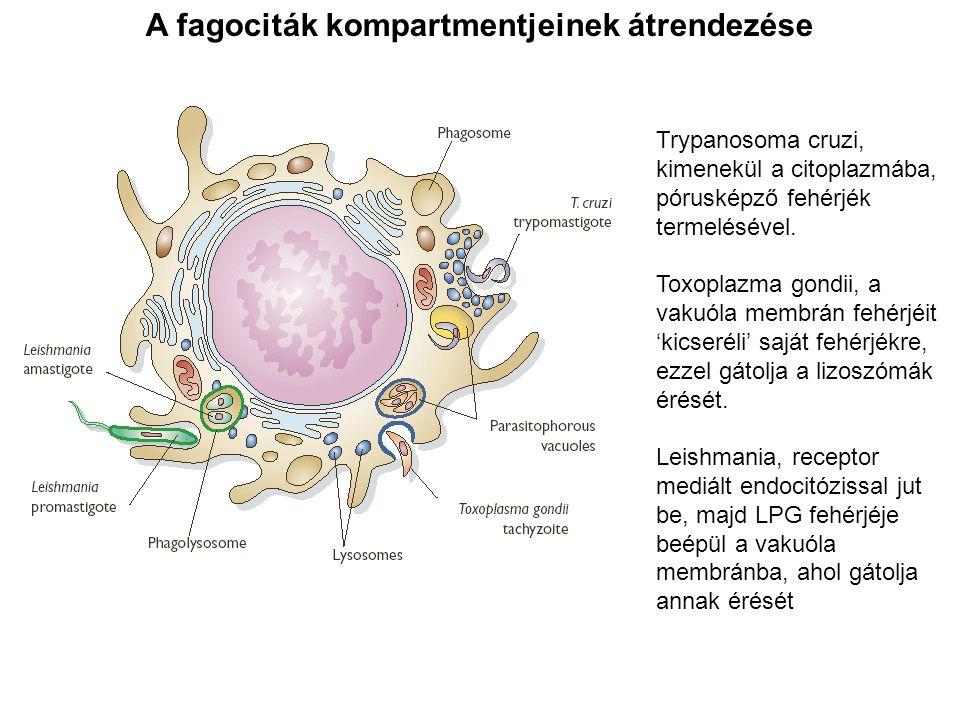 A fagociták kompartmentjeinek átrendezése Trypanosoma cruzi, kimenekül a citoplazmába, pórusképző fehérjék termelésével. Toxoplazma gondii, a vakuóla