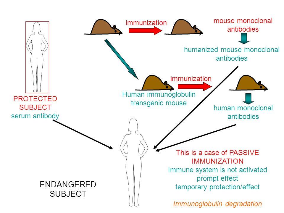 AZ ALLO-REAKTÍV IMMUNVÁLASZ A TRANSZPLANTÁCIÓS ANTIGÉNEK ELLEN IRÁNYUL –A fő transzplantációs antigéneket a klasszikus MHC gének kódolják –A minor transzplantációs antigéneket bármely polimorf gén kódolhatja –A vércsoport antigének szövet specifikus transzplantációs antigének A T SEJTEK A SAJÁT MHC ALLOTÍPUSOK JELENLÉTÉBEN NEVELŐDNEK A NEM SAJÁT, IDEGEN MHC ALLOTÍPUSOKAT A T LIMFOCITÁK IDEGENKÉNT ISMERIK FEL A NEM KOMPATIBILIS SZÖVET KILÖKŐDÉSÉT ELSŐSORBAN A T SEJTES IMMUNVÁLASZ VÁLTJA KI AZ NK SEJTEK ÉS AZ ELLENANYAGOK ÁLTAL KÖZVETÍTETT EFFEKTOR FUNKCIÓK IS RÉSZT VESZNEK A KILÖKŐDÉSI REAKCIÓBAN TRANSZPLANTÁCIÓS IMMUNOLÓGIA