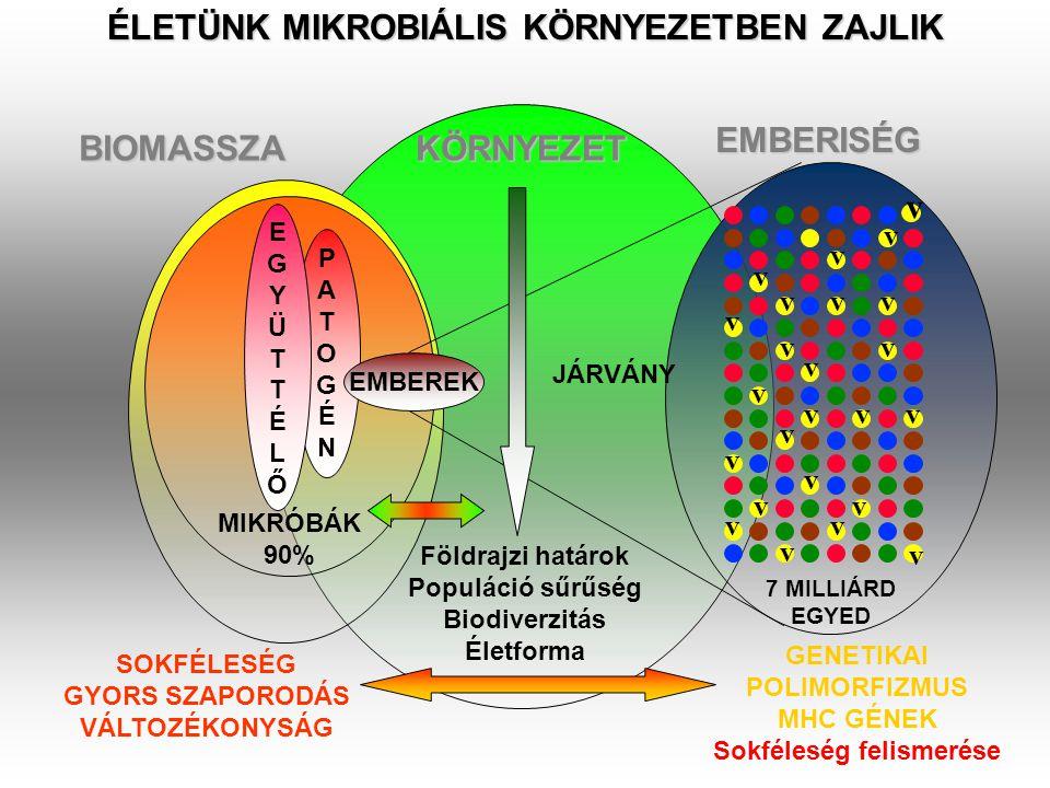 TERMÉSZETES IMMUNITÁS Richard Pfeiffer, Robert Koch tanítványa - ENDOTOXIN Feltételezett endotoxin receptor Lipopolysaccharid (LPS) receptort sokáig nem tudták azonosítani A dorsoventrális reguláló gén kazetta Spätzle/Toll/Cactus elemei felnőtt Drosophilában a hatékony gomba ellenes immunválaszt szabályozzák Bruno Lemaitre, A Hoffmann et al, Cell, 1996 Spätzle: Toll ligand Toll: Receptor Cactus:I-kB Dorsal:NF-kB Drosomycin is not synthesized