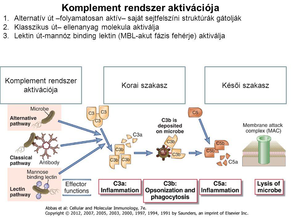 Komplement rendszer aktivációja Korai szakaszKésői szakasz Komplement rendszer aktivációja 1.Alternatív út –folyamatosan aktív– saját sejtfelszíni struktúrák gátolják 2.Klasszikus út– ellenanyag molekula aktiválja 3.Lektin út-mannóz binding lektin (MBL-akut fázis fehérje) aktiválja