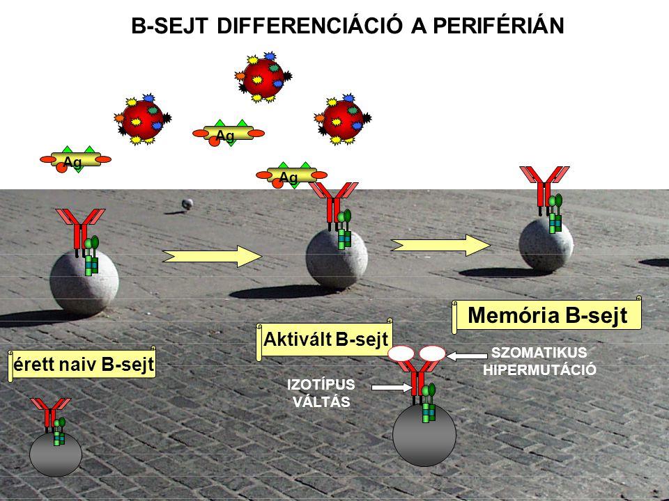 T SEJT FÜGGŐ B SEJT AKTIVÁCIÓ A LIMFOD SZERVEKBEN IgM IgG IgA IgE Antigén Th sejt Naiv B sejt B sejt blaszt Memória B sejt Csíraközpont B sejt Szomatikusan mutált plasma sejt Nem mutált plazma sejt