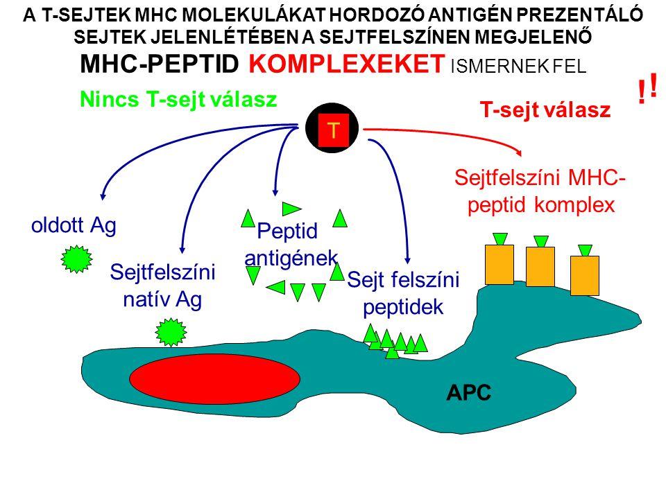 A T-SEJTEK MHC MOLEKULÁKAT HORDOZÓ ANTIGÉN PREZENTÁLÓ SEJTEK JELENLÉTÉBEN A SEJTFELSZÍNEN MEGJELENŐ MHC-PEPTID KOMPLEXEKET ISMERNEK FEL T Nincs T-sejt válasz oldott Ag Sejtfelszíni natív Ag Peptid antigének Sejtfelszíni MHC- peptid komplex T-sejt válasz Sejt felszíni peptidek APC .