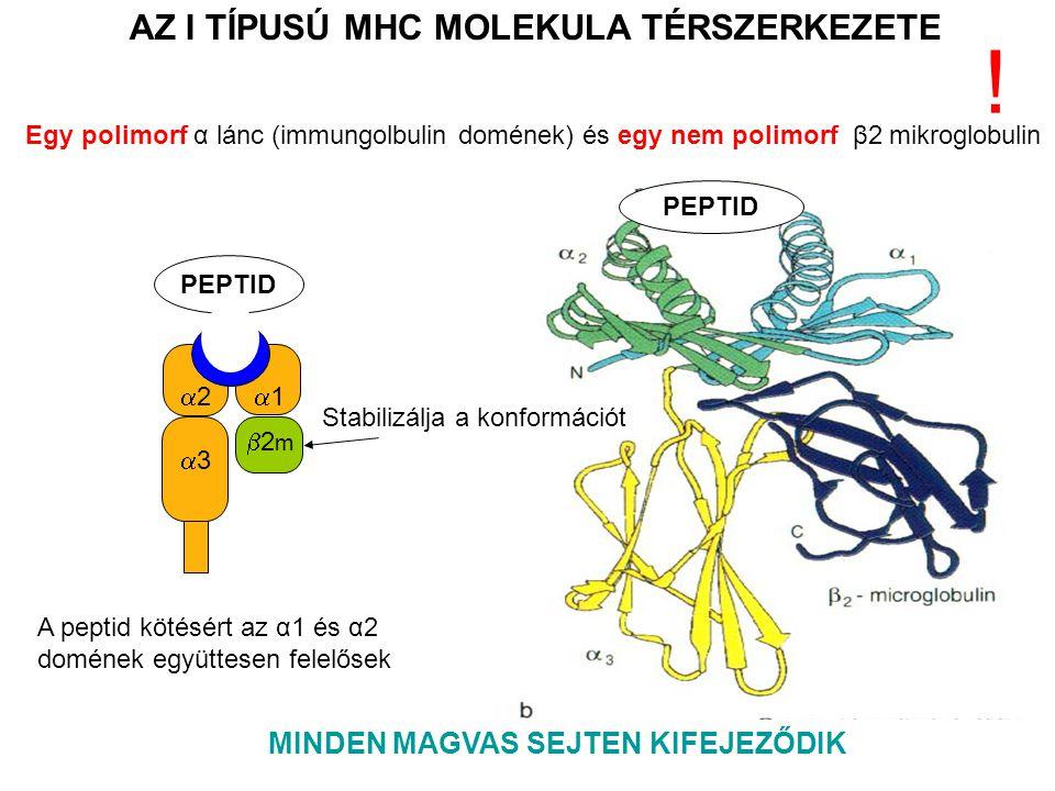 PEPTID 11 33 22 2m2m AZ I TÍPUSÚ MHC MOLEKULA TÉRSZERKEZETE MINDEN MAGVAS SEJTEN KIFEJEZŐDIK A peptid kötésért az α1 és α2 domének együttesen felelősek Egy polimorf α lánc (immungolbulin domének) és egy nem polimorf β2 mikroglobulin .