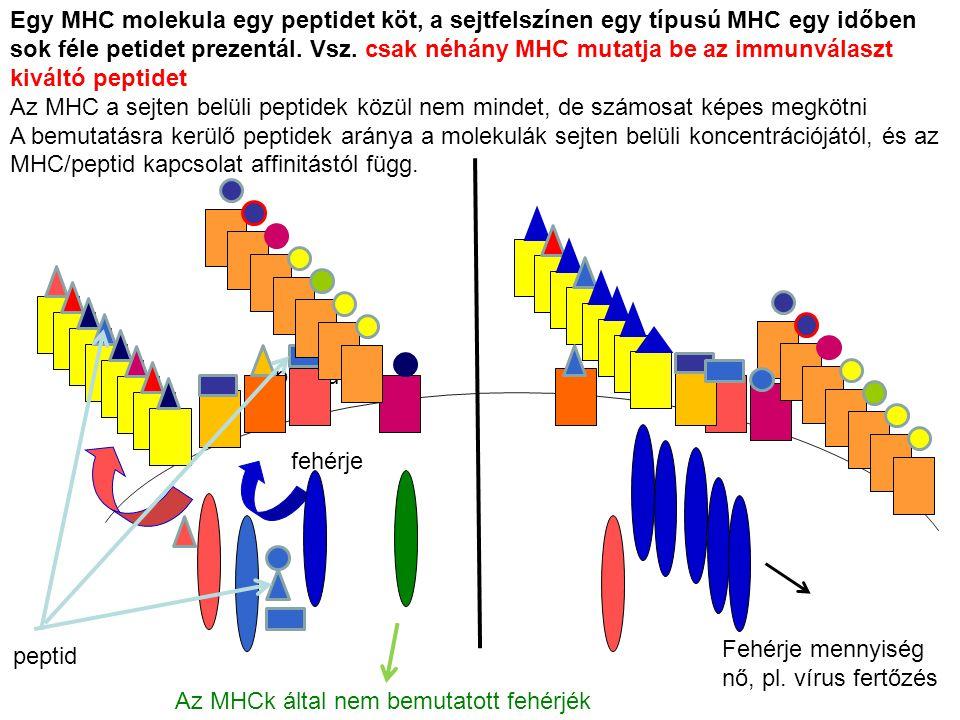 fehérje peptid Az MHCk által nem bemutatott fehérjék peptid Egy MHC molekula egy peptidet köt, a sejtfelszínen egy típusú MHC egy időben sok féle peti