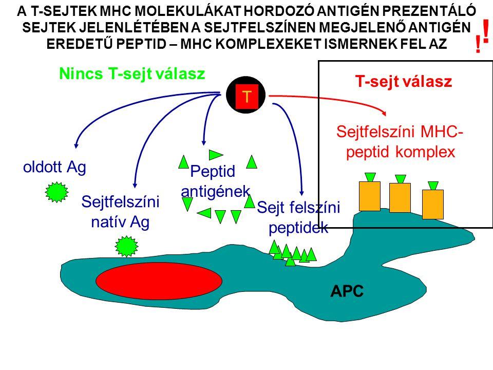 A T-SEJTEK MHC MOLEKULÁKAT HORDOZÓ ANTIGÉN PREZENTÁLÓ SEJTEK JELENLÉTÉBEN A SEJTFELSZÍNEN MEGJELENŐ ANTIGÉN EREDETŰ PEPTID – MHC KOMPLEXEKET ISMERNEK FEL AZ T Nincs T-sejt válasz oldott Ag Sejtfelszíni natív Ag Peptid antigének Sejtfelszíni MHC- peptid komplex T-sejt válasz Sejt felszíni peptidek APC .
