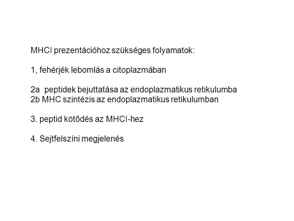 MHCI prezentációhoz szükséges folyamatok: 1, fehérjék lebomlás a citoplazmában 2a peptidek bejuttatása az endoplazmatikus retikulumba 2b MHC szintézis az endoplazmatikus retikulumban 3.