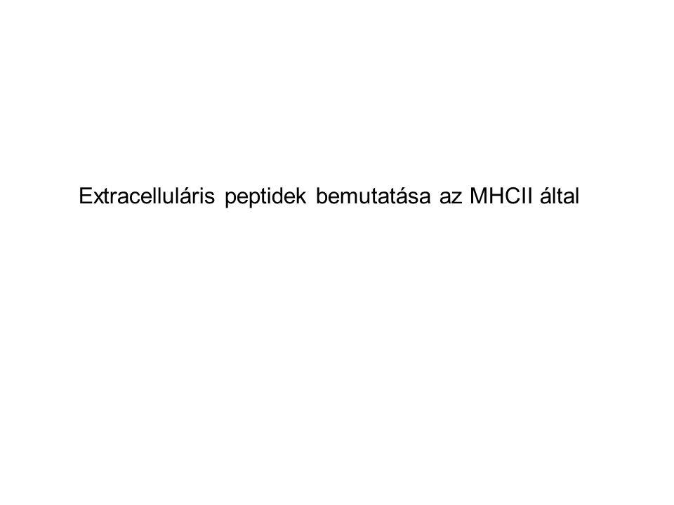 Extracelluláris peptidek bemutatása az MHCII által