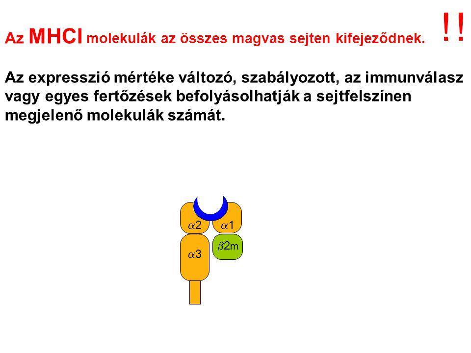 Endogén Ag CD8 MHCI Az endogén fehérjékből (saját, vírus, tumor) származó peptideket az I.