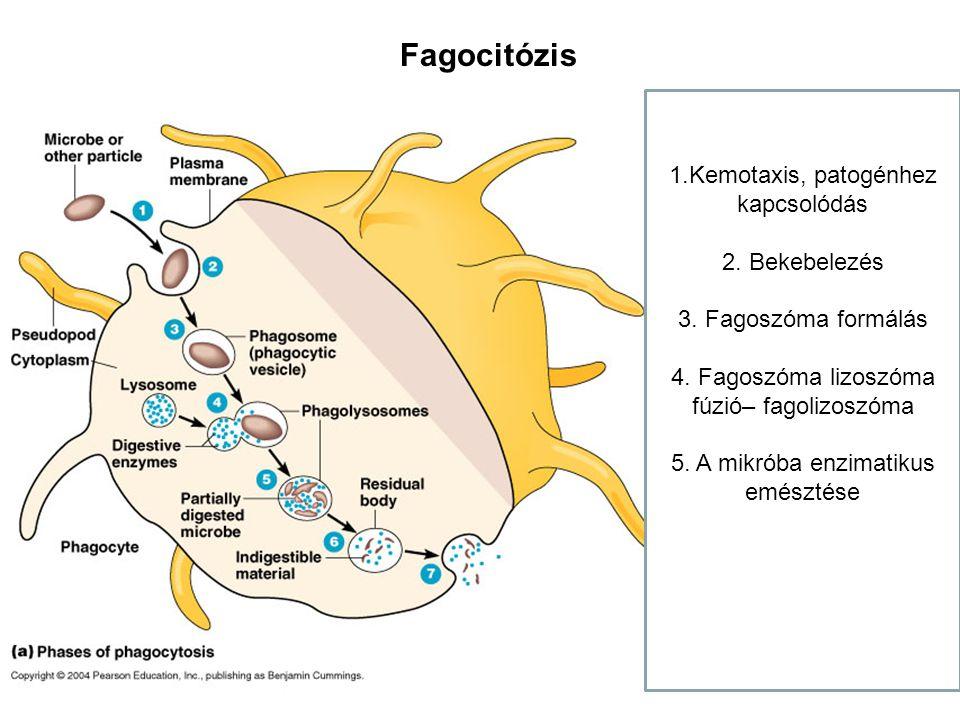 Fagocitózis 1.Kemotaxis, patogénhez kapcsolódás 2. Bekebelezés 3. Fagoszóma formálás 4. Fagoszóma lizoszóma fúzió– fagolizoszóma 5. A mikróba enzimati
