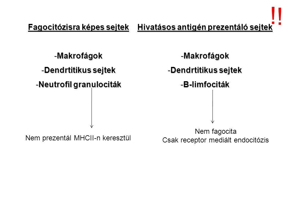 Fagocitózisra képes sejtek -Makrofágok -Dendrtitikus sejtek -Neutrofil granulociták Hivatásos antigén prezentáló sejtek -Makrofágok -Dendrtitikus sejt