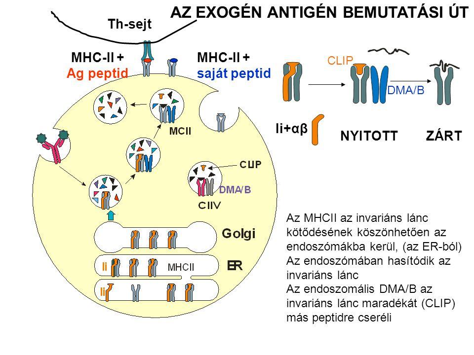 Th-sejt AZ EXOGÉN ANTIGÉN BEMUTATÁSI ÚT ZÁRTNYITOTT Ii+αβ CLIP DMA/B MHC-II + Ag peptid MHC-II + saját peptid Az MHCII az invariáns lánc kötődésének k