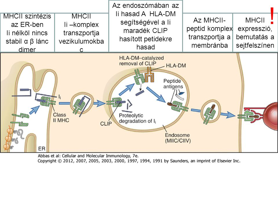 MHCII szintézis az ER-ben Ii nélköl nincs stabil α β lánc dimer MHCII Ii –komplex transzportja vezikulumokba c Az endoszómában az Ii hasad A HLA-DM se