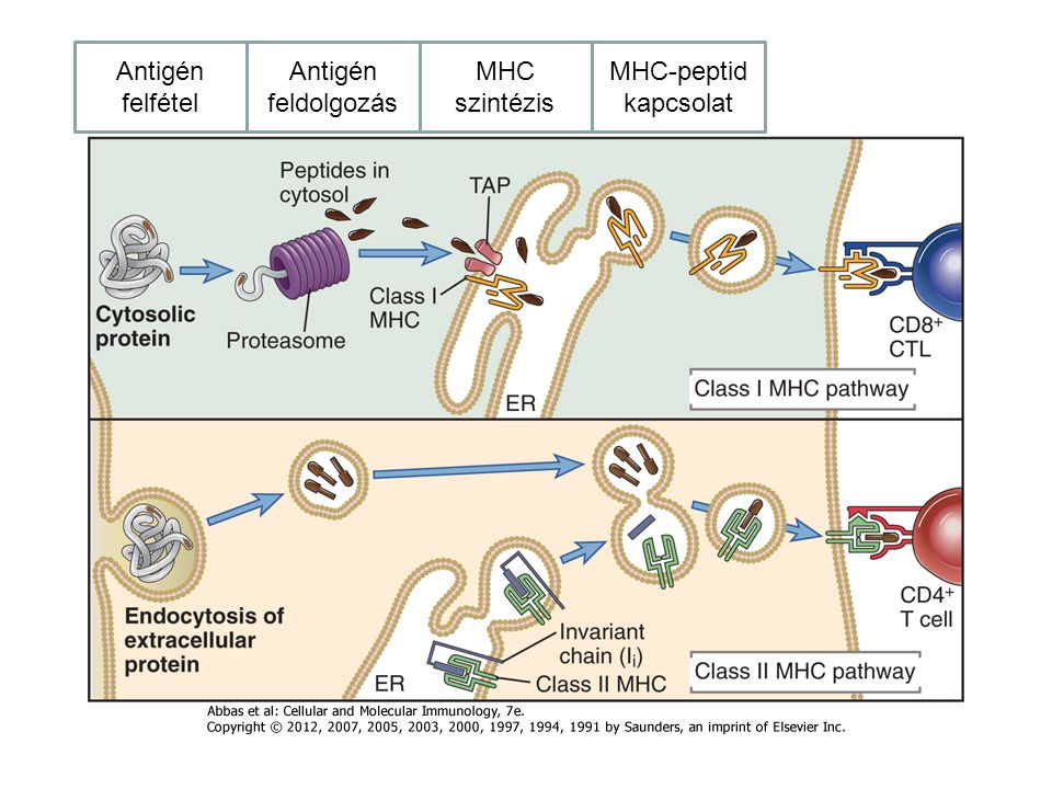 Antigén felfétel Antigén feldolgozás MHC szintézis MHC-peptid kapcsolat