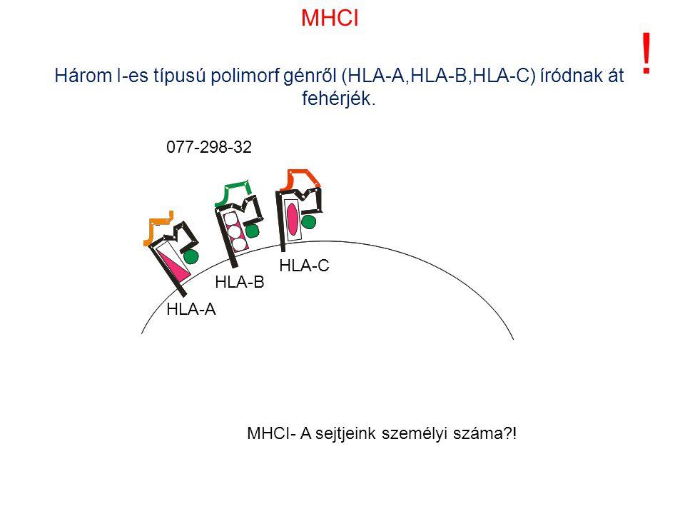 Három I-es típusú polimorf génről (HLA-A,HLA-B,HLA-C) íródnak át fehérjék. ! HLA-A HLA-B HLA-C MHCI- A sejtjeink személyi száma?! 077-298-32 MHCI
