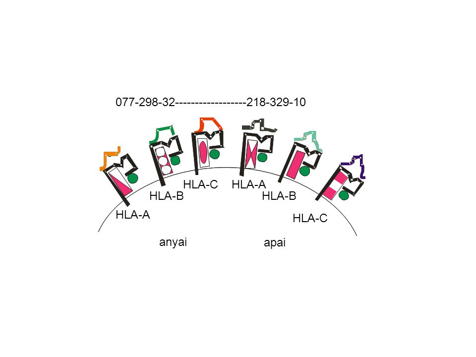 HLA-A HLA-B HLA-C anyai HLA-C HLA-B HLA-A apai Minden egyed, minden magvas sejtje 6 féle MHCI molekulát fejez ki a sejtfelszínen ~6 x 10 15 lehetséges egyedi kombináció 10milliárd 10 10 !
