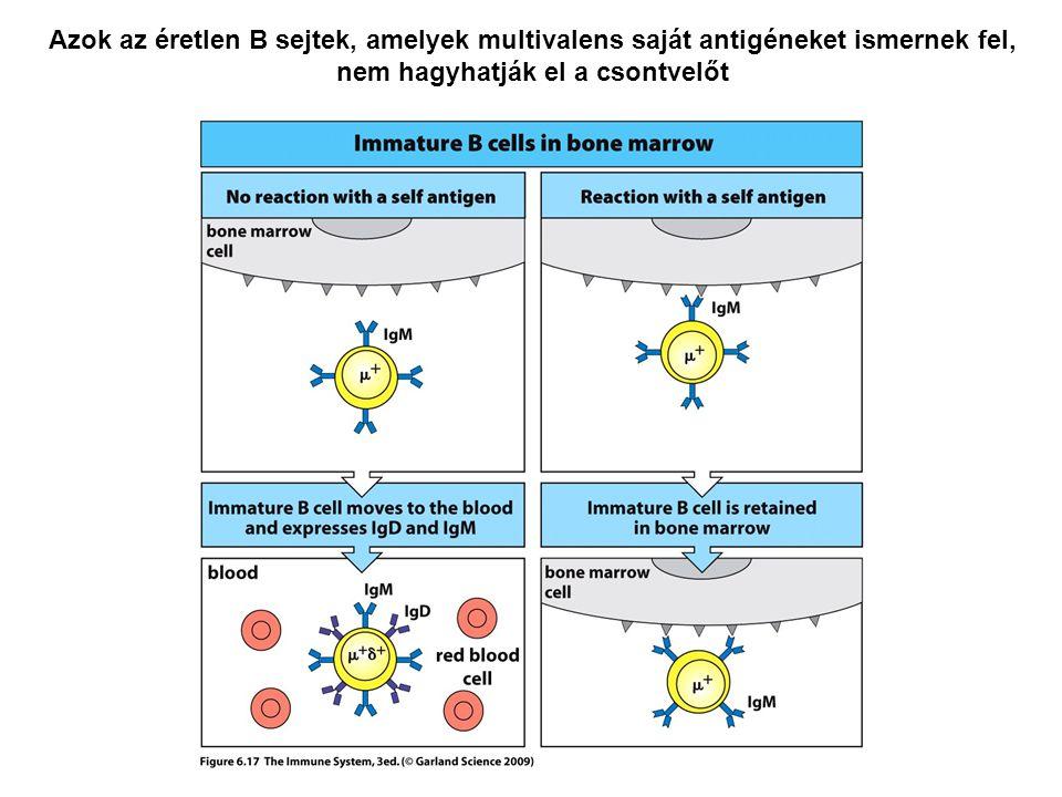 Azok az éretlen B sejtek, amelyek multivalens saját antigéneket ismernek fel, nem hagyhatják el a csontvelőt