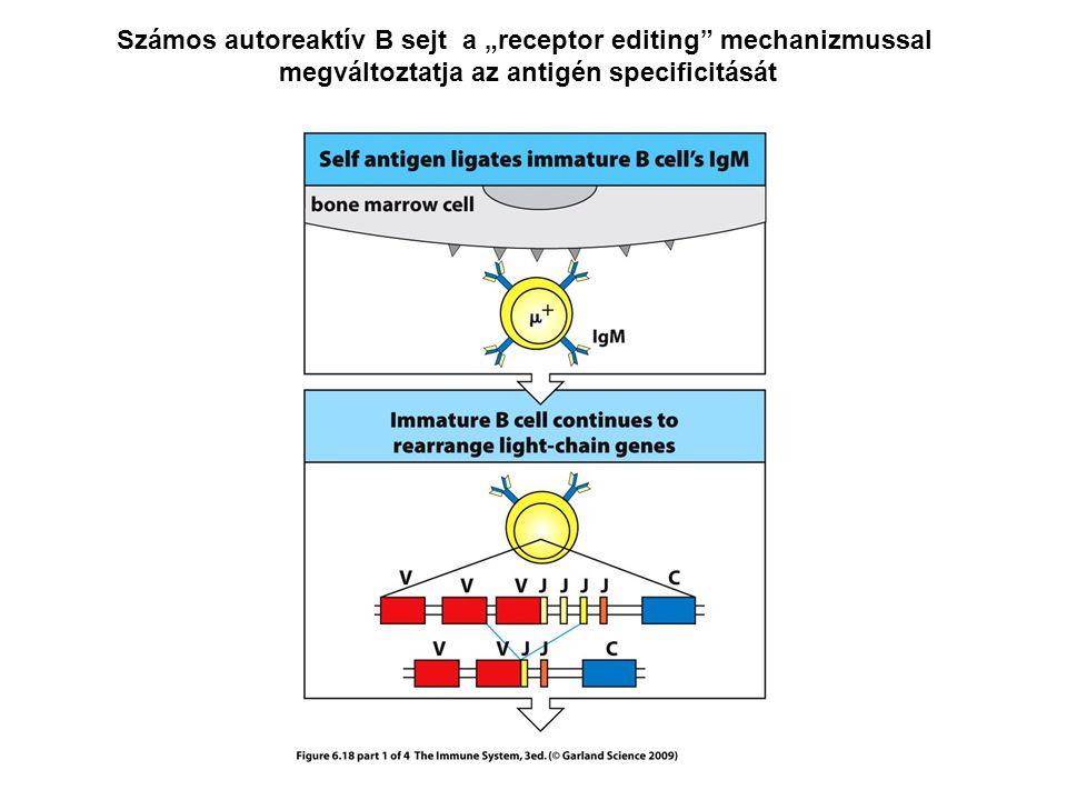 """Számos autoreaktív B sejt a """"receptor editing mechanizmussal megváltoztatja az antigén specificitását"""