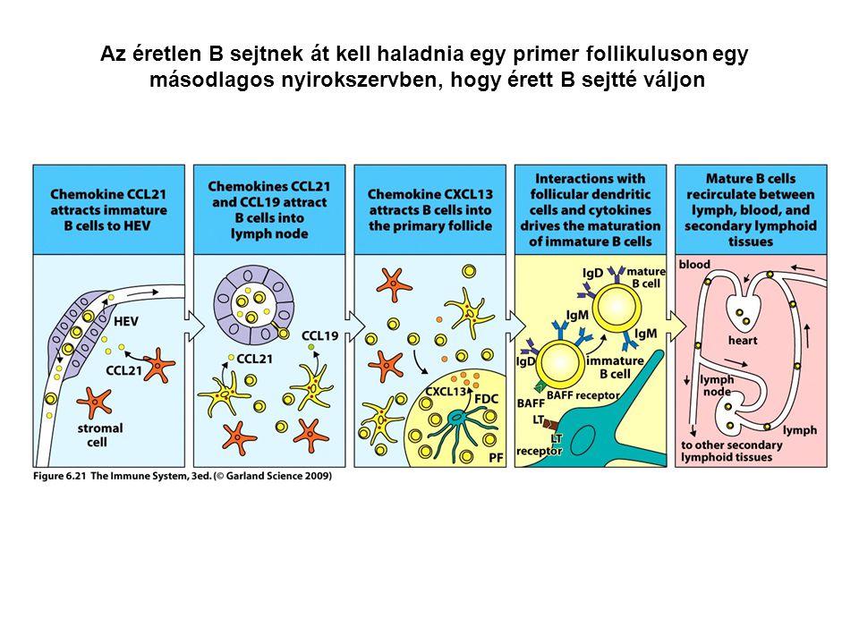 Az éretlen B sejtnek át kell haladnia egy primer follikuluson egy másodlagos nyirokszervben, hogy érett B sejtté váljon