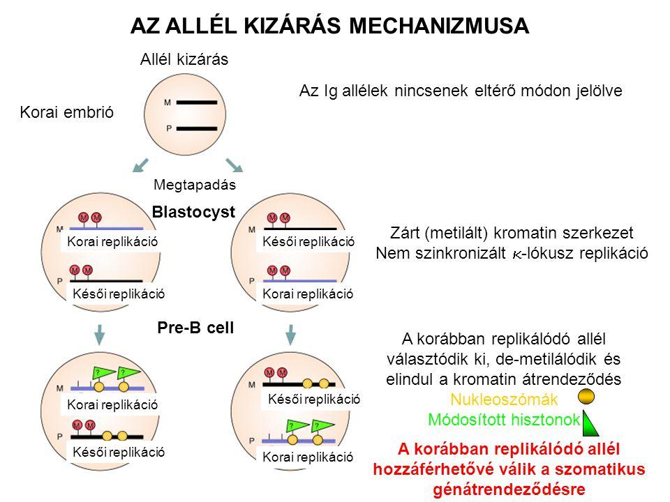AZ ALLÉL KIZÁRÁS MECHANIZMUSA Az Ig allélek nincsenek eltérő módon jelölve Zárt (metilált) kromatin szerkezet Nem szinkronizált  -lókusz replikáció Blastocyst Pre-B cell A korábban replikálódó allél választódik ki, de-metilálódik és elindul a kromatin átrendeződés Nukleoszómák Módosított hisztonok A korábban replikálódó allél hozzáférhetővé válik a szomatikus génátrendeződésre Allél kizárás Korai embrió Megtapadás Korai replikáció Késői replikáció Korai replikáció Késői replikáció Korai replikáció Késői replikáció