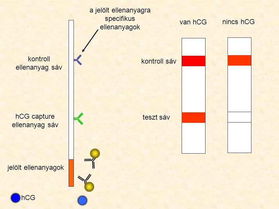 hCG capture ellenanyag sáv kontroll ellenanyag sáv jelölt ellenanyagok hCG kontroll sáv teszt sáv van hCG nincs hCG a jelölt ellenanyagra specifikus e