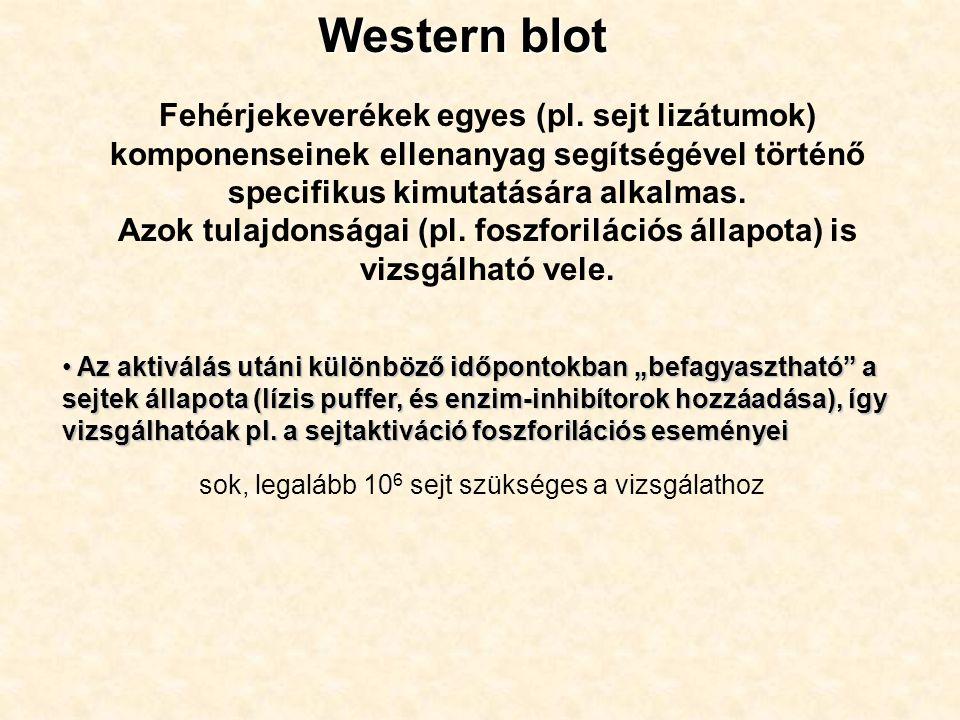 Western blot Fehérjekeverékek egyes (pl. sejt lizátumok) komponenseinek ellenanyag segítségével történő specifikus kimutatására alkalmas. Azok tulajdo