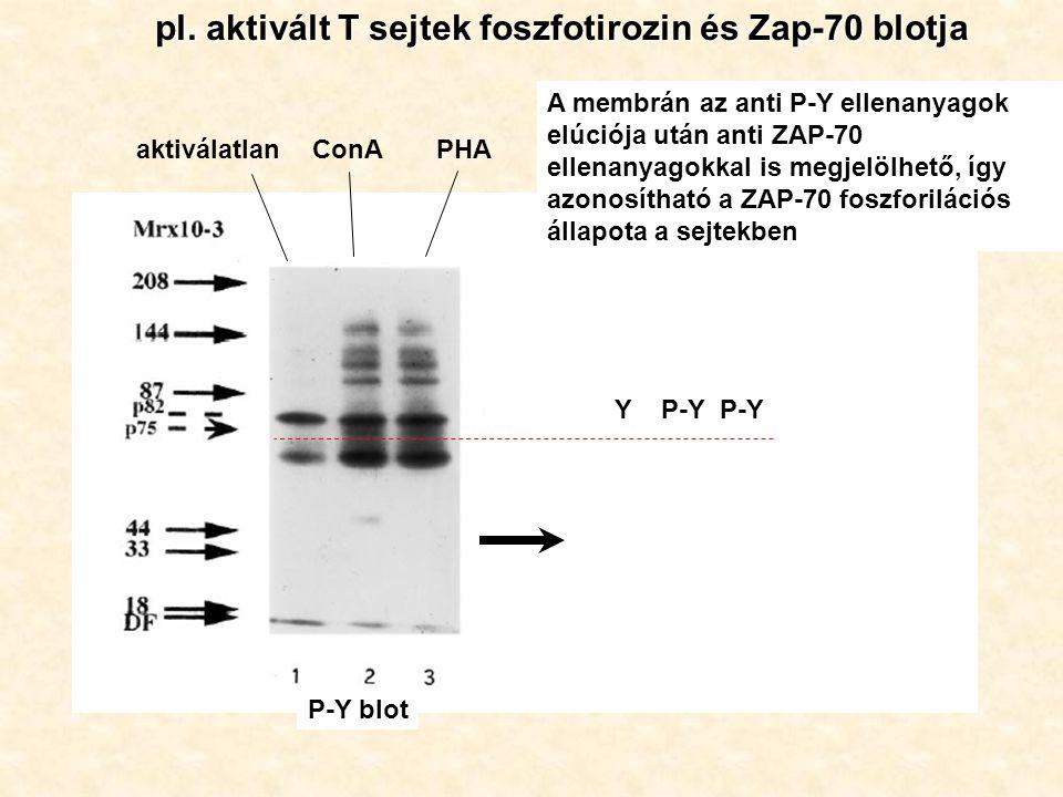 pl. aktivált T sejtek foszfotirozin és Zap-70 blotja aktiválatlanConAPHA A membrán az anti P-Y ellenanyagok elúciója után anti ZAP-70 ellenanyagokkal