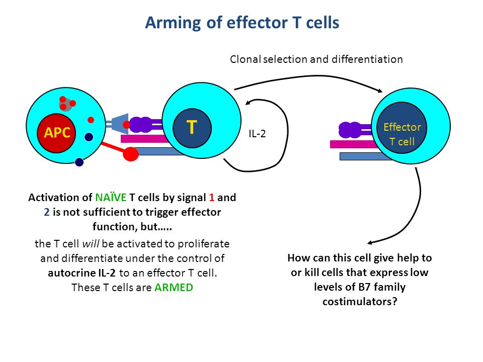 Arming of effector T cells APC T Activation of NAÏVE T cells by signal 1 and 2 is not sufficient to trigger effector function, but….. IL-2 Effector T