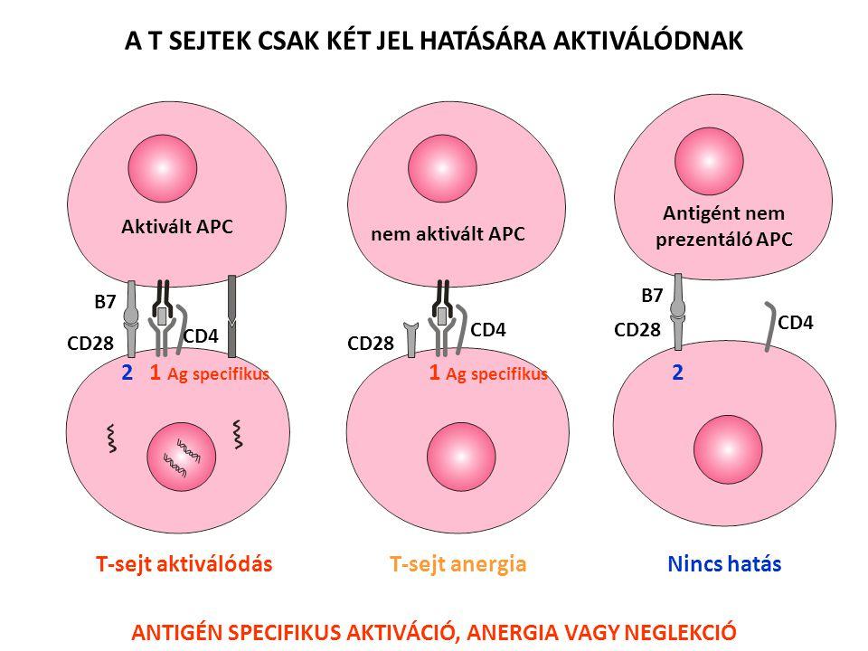 IL-2 IL-2R  1 Antigén Epitél sejt Naive T sejt Csak 1.