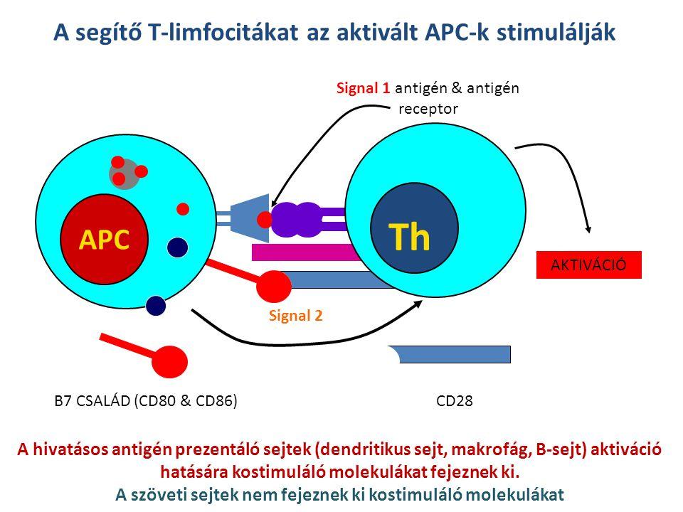 A segítő T-limfocitákat az aktivált APC-k stimulálják APC Th Signal 1 antigén & antigén receptor Signal 2 B7 CSALÁD (CD80 & CD86)CD28 AKTIVÁCIÓ A hiva
