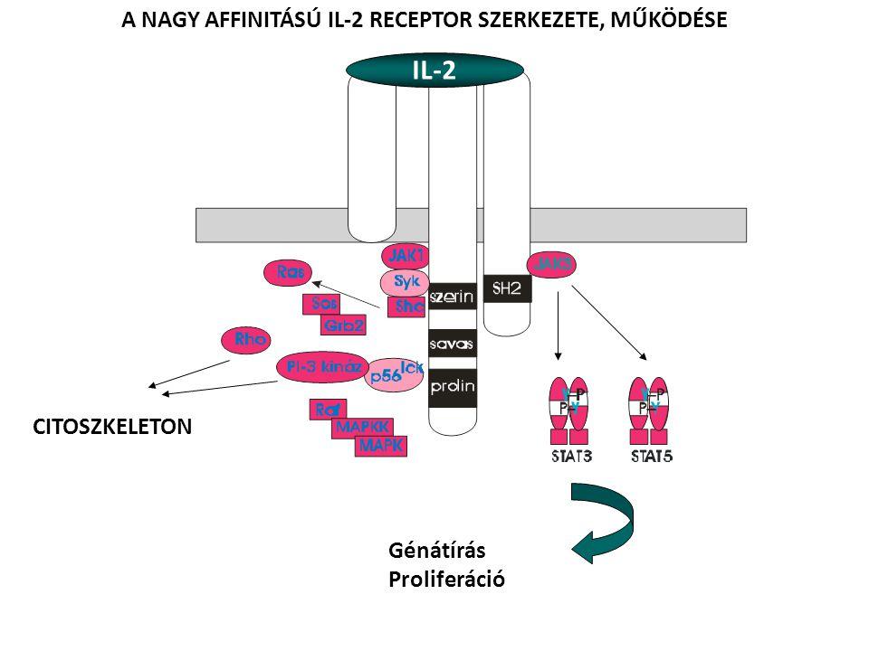 adhézió kostimuláció felismerés A T SEJT PROLIFERÁCIÓ ELINDÍTÁSA IL-2Rβγ IL-2R kis affinitás IL-2R nagy affinitás IL-1 IL-2 transferrin insulin PROLIFERÁCIÓ IL-2 IL-2Rα