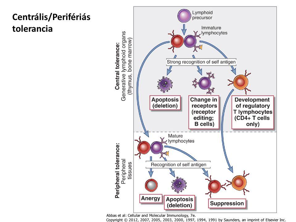 Éretlen DC Érett DC Elsődleges funkció Antigén felvétel Antigén prezentáció Fc és mannóz receptor expresszió ++- T-sejt kostimulátorok -, alacsony ++ MHCII féléletidő szám 10óra 1M >100óra 7M ÉRETLEN/ÉRETT dendritikus sejtek A DC-eken aktiváció hatására nő az MHC mennyisége, kostimulátor molekulák jelennek meg, elengedi a környezetét Megjelenik egy kemokin receptor (CCR7) (A naiv T sejtek ugyanezt a kemokin receptort hordozzák, azaz az érett DC-k és a naiv T-sejtek egy helyre vándorolnak) A DC míg beér a nyirok csomóba érett DC-té differenciálódik