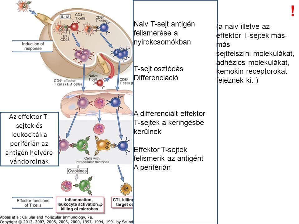 Naiv T-sejt antigén felismerése a nyirokcsomókban T-sejt osztódás Differenciáció A differenciált effektor T-sejtek a keringésbe kerülnek Effektor T-sejtek felismerik az antigént A periférián Az effektor T- sejtek és leukociták a periférián az antigén helyére vándorolnak (a naiv illetve az effektor T-sejtek más- más sejtfelszíni molekulákat, adhézios molekulákat, kemokin receptorokat fejeznek ki.