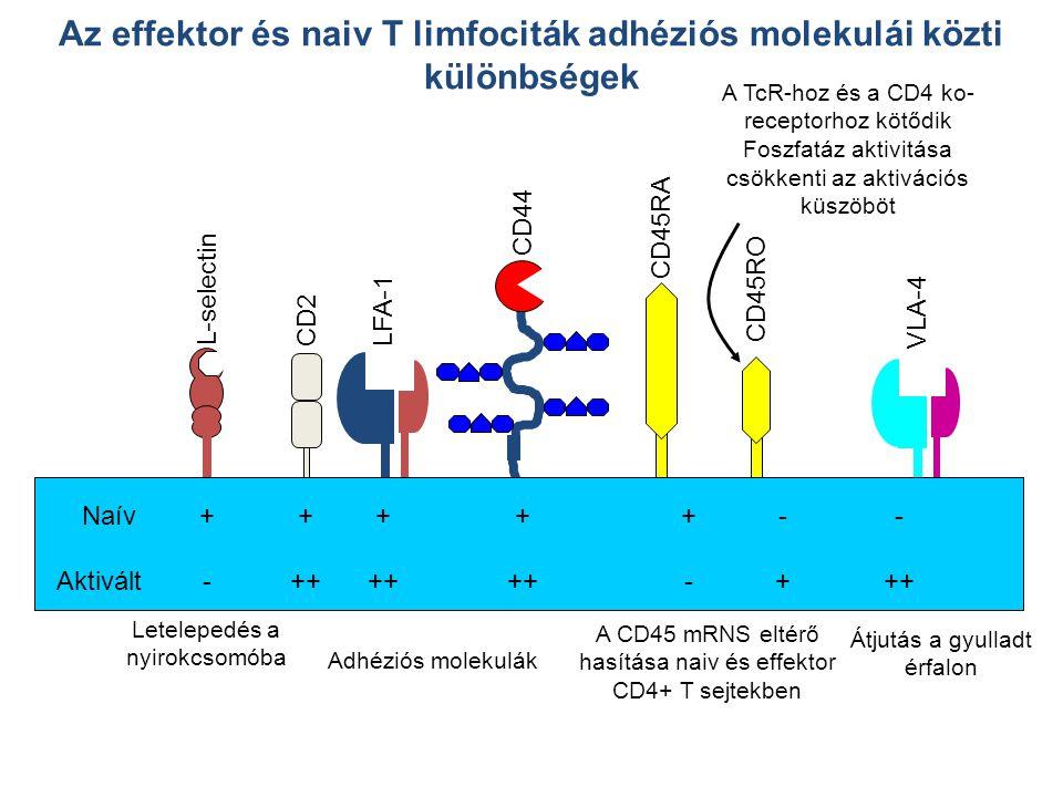 Letelepedés a nyirokcsomóba L-selectin VLA-4 Átjutás a gyulladt érfalon CD45RA CD45RO A CD45 mRNS eltérő hasítása naiv és effektor CD4+ T sejtekben CD2LFA-1 CD44 Adhéziós molekulák Naív Aktivált Az effektor és naiv T limfociták adhéziós molekulái közti különbségek + - ++-++- ++ +- A TcR-hoz és a CD4 ko- receptorhoz kötődik Foszfatáz aktivitása csökkenti az aktivációs küszöböt