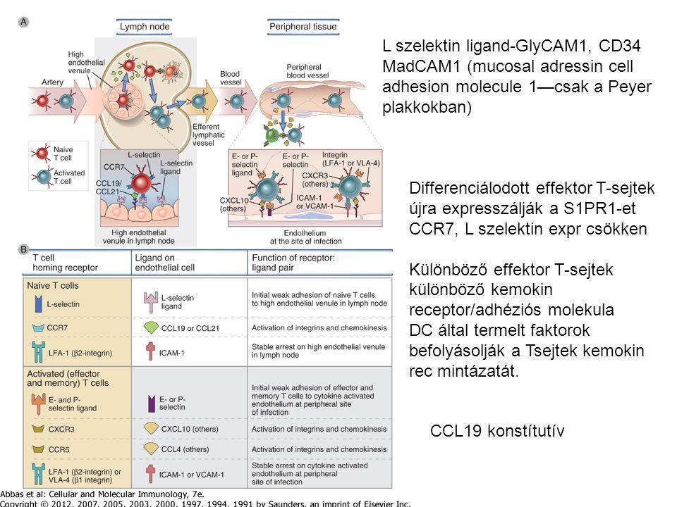 L szelektin ligand-GlyCAM1, CD34 MadCAM1 (mucosal adressin cell adhesion molecule 1—csak a Peyer plakkokban) CCL19 konstítutív Differenciálodott effektor T-sejtek újra expresszálják a S1PR1-et CCR7, L szelektin expr csökken Különböző effektor T-sejtek különböző kemokin receptor/adhéziós molekula DC által termelt faktorok befolyásolják a Tsejtek kemokin rec mintázatát.