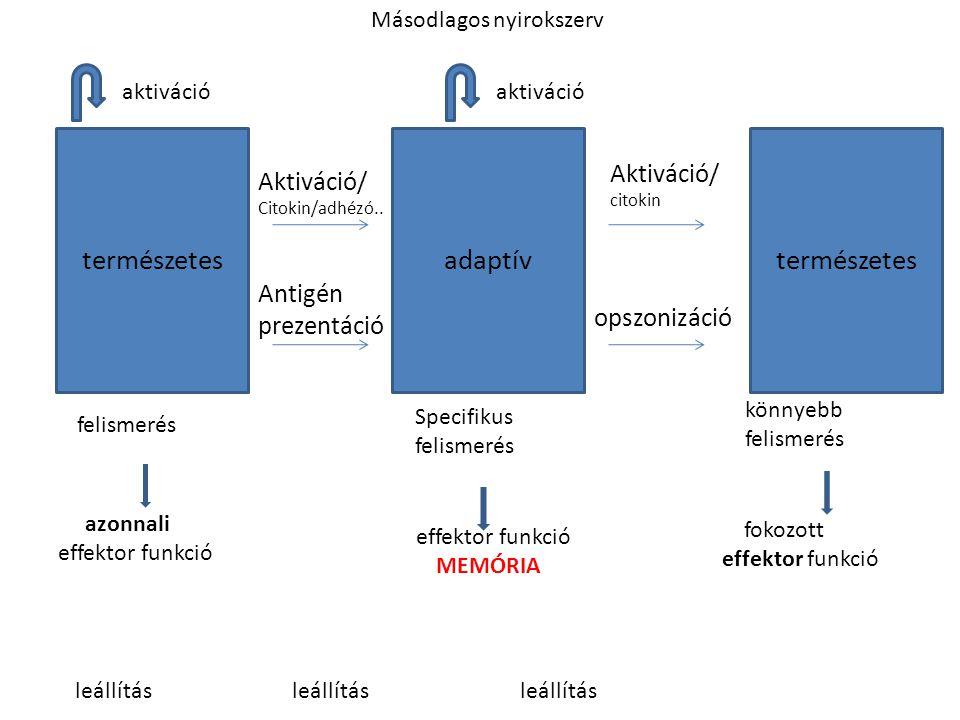 természetesadaptív természetes felismerés azonnali effektor funkció Aktiváció/ Citokin/adhézó.. Antigén prezentáció Aktiváció/ citokin opszonizáció kö