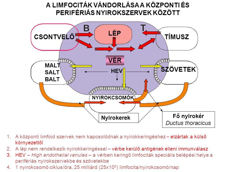 CSONTVELŐTÍMUSZ MALT SALT BALT HEV VÉR Fő nyirokér Ductus thoracicus Nyirokerek SZÖVETEK LÉP NYIROKCSOMÓK A LIMFOCITÁK VÁNDORLÁSA A KÖZPONTI ÉS PERIFÉRIÁS NYIROKSZERVEK KÖZÖTT 1.A központi limfoid szervek nem kapcsolódnak a nyirokkeringéshez – elzártak a külső környezettől 2.A lép nem rendelkezik nyirokkeringéssel – vérbe kerülő antigének elleni immunválasz 3.HEV – High endothelial venules – a vérben keringő limfociták speciális belépési helye a perifériás nyirokszervekbe és szövetekbe 4.1 nyirokcsomó ciklus/óra, 25 milliárd (25x10 9 ) limfocita/nyirokcsomó/nap