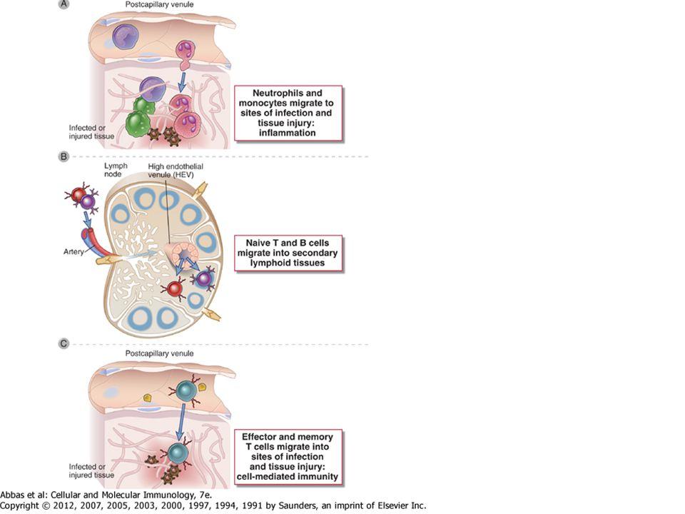 Az endotél sejtek szerepe a limfocita vándorlásban és recirkulációban Az endotél sejtek részt vesznek a: vasomotoros tónus, vascularis permeabilitás és a coaguláció szabályozásában, a limfociták extravasaciójában és az immunmodulációban High endothelial venules Konstitutívan vannak jelen a másodlagos limfoid szövetekben Szükségesek a naiv limfociták belépéséhez Post capilláris venulák nem limfoid szövetekben Az endotél sejtek által kifejezett molekulák szabályozzák a limfocita vándorlást és recirkulációt a limfoid és nem limfoid szövetek között