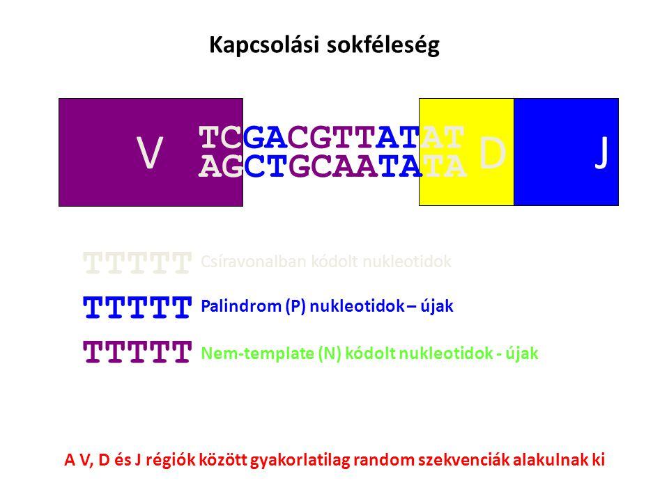 V DJ TCGACGTTATAT AGCTGCAATATA Kapcsolási sokféleség TTTTT Csíravonalban kódolt nukleotidok Palindrom (P) nukleotidok – újak Nem-template (N) kódolt nukleotidok - újak A V, D és J régiók között gyakorlatilag random szekvenciák alakulnak ki
