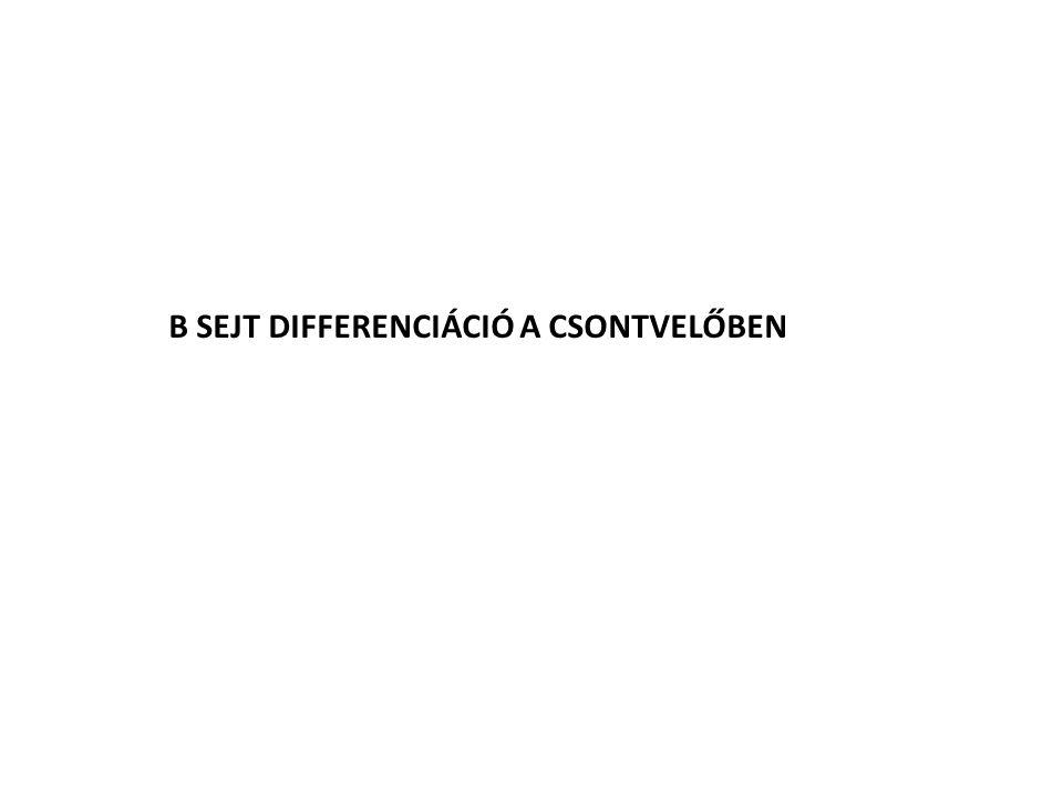 B SEJT DIFFERENCIÁCIÓ A CSONTVELŐBEN