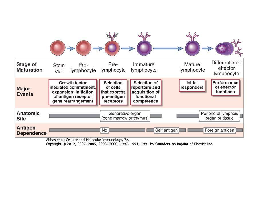 Termelt faktorok – CITOKINEK Kolónia stimuláló faktorok Növekedési faktorok Differenciációs faktorok 2.